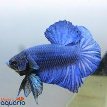 Blue Royal Ohm Pk Full Mask - Betta De Linhagem