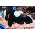 Peixe Palhaço Amphiprion Polymnus 2 A 3 Cm, Nemo, Marinho