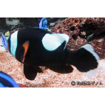 Peixe Palhaço Amphiprion Polymnus 4 A 5 Cm, Nemo, Marinho
