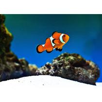 Peixe Palhaço - Ocellaris Clownfish Para Aquário Marinho