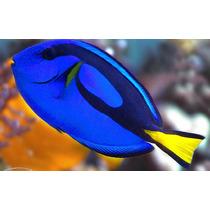 Peixe Marinho Blue Tang Hepatus Dori - Pq (± 5 Cm) Promoção!