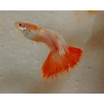Guppy (rrea) Red Albino - (lebiste) Linhagem 100% Pura