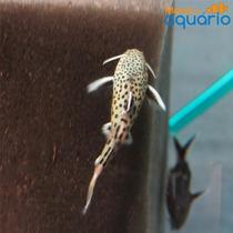Peixe Synodontis Petricola - (criado)