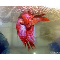 10 Betta Femea Dragons - Variadas