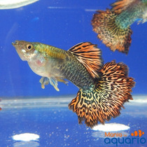 Casal Guppy Red Dragon Hm (criado)