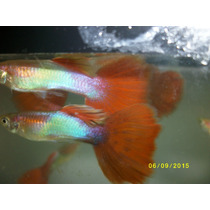Guppy Red Tail Aquamarine -trio - 1 Macho Duas Femeas