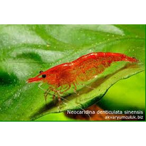 Camarão Red Cherry Ornamental Água Doce