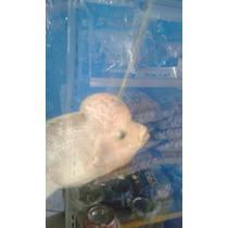 Peixe Ciclídeo 18cm Flower Horn