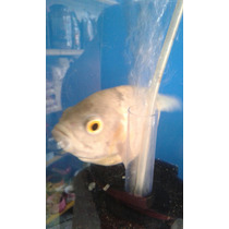 Peixe Ciclídeo 16cm Oscar Albino