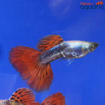 Casal Guppy Platinum Red Tail (criado)