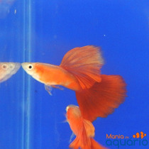 Casal Guppy Full Red Gold Big Dorsal (criado)