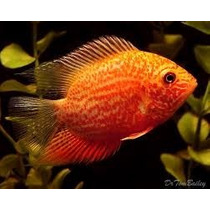 Acara Severum Gold Red Spotted Ornamental Aguá Doce