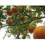 Serragem Madeira Para Defumar Alimentos - Limão - 1 Kg
