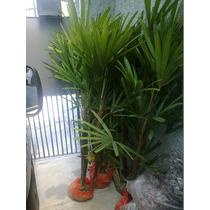 Muda De Palmeira Ráfia (acompanha Vaso Plástico E Prato)