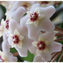 Mudas De Flor De Cera - Hoya Carnosa - Trepadeira - Adultas