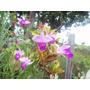 Mudas De Arundina Lilás Produzindo Flores 20,00 A Muda