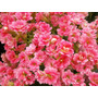 Mudas De Calandiva - Planta Suculenta Flores Dobrada