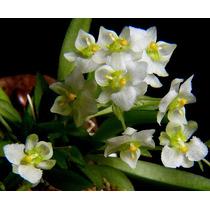 Promoção - Mudas De Zygostates Alleniana - Micro Orquídea