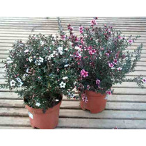 Muda De Erica Japonesa ( Leptospermum Scoparium ) C/ 2 Anos