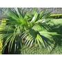 Palmeira Leque Da China - Mudas Com Até 20 Cm ! Promoção !