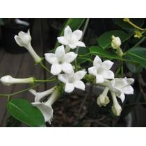 Mudas De Jasmim Madagascar - Lindas Flores Perfumadas Adulta