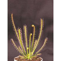 Planta Carnívora - Drosera Filiformis + Vaso + Substrato!