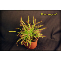 Planta Carnívora - Drosera Capensis + Vaso + Substrato