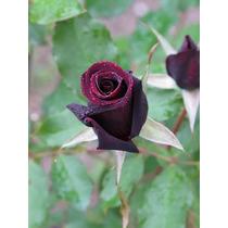 Muda De Rosa Roseira, Verdadeiro Príncipe Negro Perfumado !