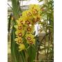 2 Risomas Orquídea Cymbídio Amarela