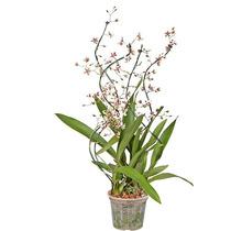 Orquidea Oncidium Alissimo Branco