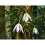 Micro Orquidea Leptotes Unicolor