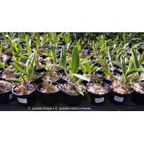 Orquídea Cattleya Guttata