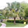 Palmeira De Leque