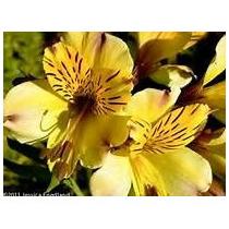 Bulbo Da Linda Flor Alstroemeria Amarela