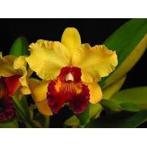 Mudas De Orquídea Catleia Adultas Em Várias Cores