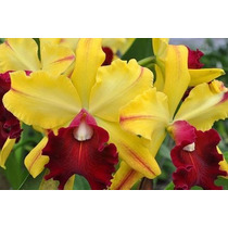 A Famosa Orquídea Blc Toshie Aoki Robin !!!