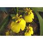 Orquidea Chuva De Ouro Adulta