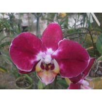 Orquidea Phalaenopsis Por R$ 8,00 Cada Uma.
