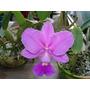 Orquidea Cattleya Walkeriana Tipo Planta Adulta 20,00 Reais