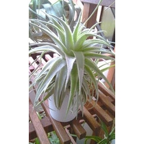 Bromelia Tillandsia Gardneri Exelente P/ Jardim Vertical