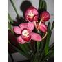 Mudas De Orquídeas Cymbidium, Linda E Fácil De Cuidar