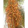 30 Mudas Palmeira Jerivá - Sementes Germinadas Com 15 Cm