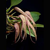 Muda De Orquídea, Bulbophyllum, Planta Linda, Flor Exótica