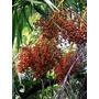 Palmeira Tamareira-do-senegal Phoenix Reclinata - Mudas