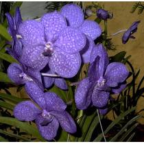 Orquídea Ascocenda Princess Mikasa Blue Rara