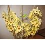 Mudas De Orquídea Dendrobium Hibrido