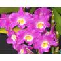 Mudas De Orquídea Dendrobium Nobile Oriental Smile