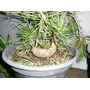 Mudas Pinheiro Negro P/ Bonsai *troncos Tortuosos* 5 Anos