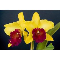 Mudas De Orquídea Cattleya Blc Alma Kee