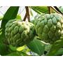 Muda Fruta Do Conde Produz Em 2 Anos Enxertada